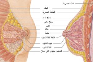تركيب الثدي